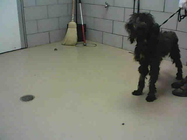 Sheepadoodle Dog For Adoption In Nashville Tn Adn 529806
