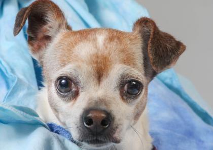 Petango Com Meet Dudley A 5 Years 3 Months Chihuahua Short