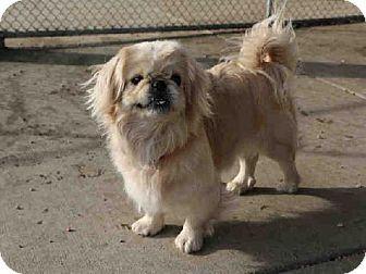 Denver Co Pekingese Meet A214161 A Dog For Adoption Dog Adoption Kitten Adoption Pets
