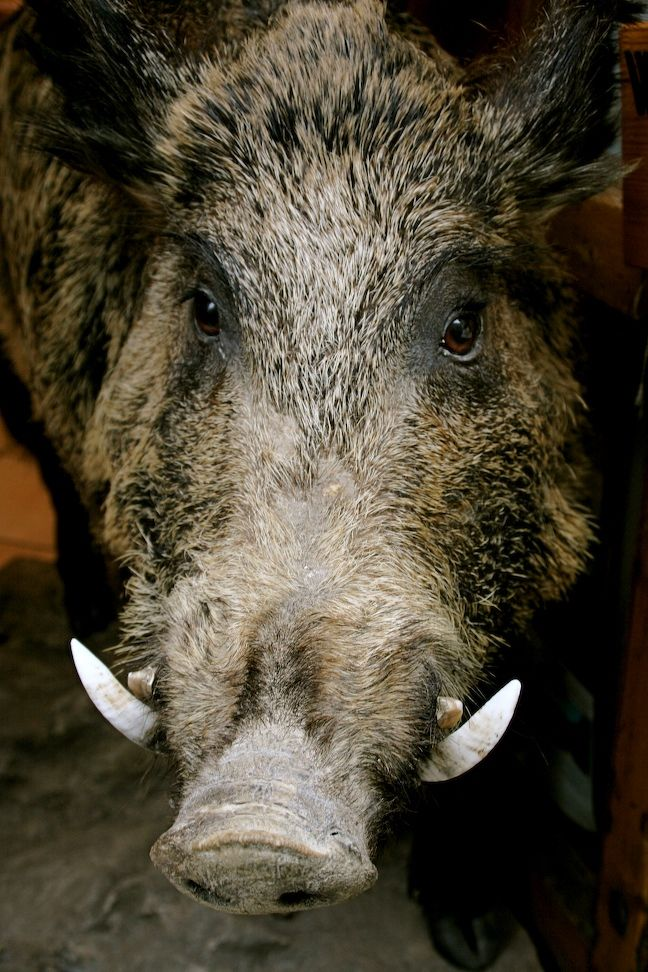 To Hunt or Not to Hunt: Tuscany\'s Troublesome Wild Boar | EyeItalia ...