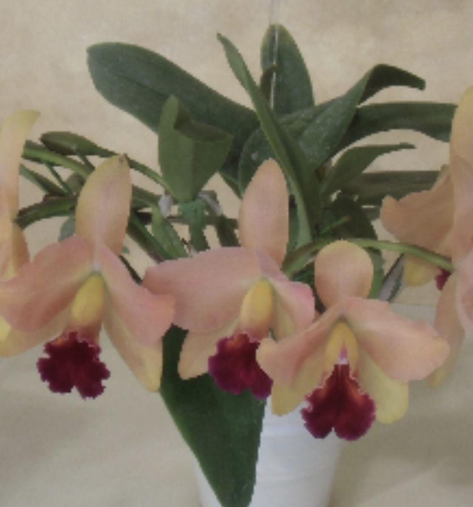 World vacation ushibuya sunsetu orchid plant cattleya orchids