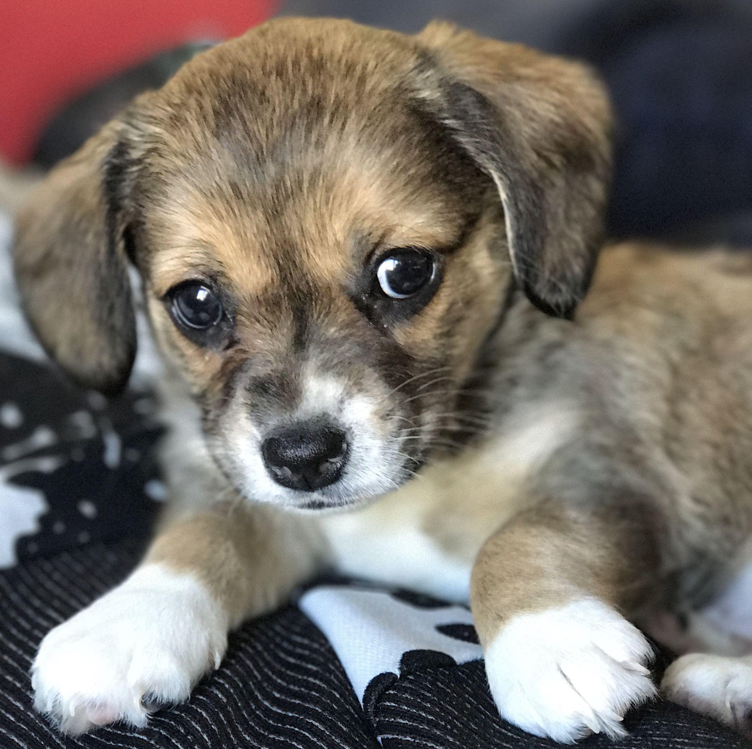 Luna Corgi Toy Aussie Beagle Mix Puppy Love Beagle Mix