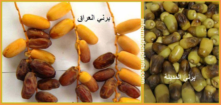 تمر البرني قسم التمور مع الصور قسم التمور انواع الاسماك مع الصور معلوماتية نبات حيوان اسماك فوائد Food Vegetables Beans