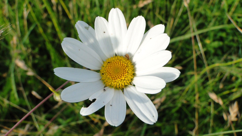 Daisy burgess field flowers pinterest daisy burgess field fieldsdaisiesflowers izmirmasajfo