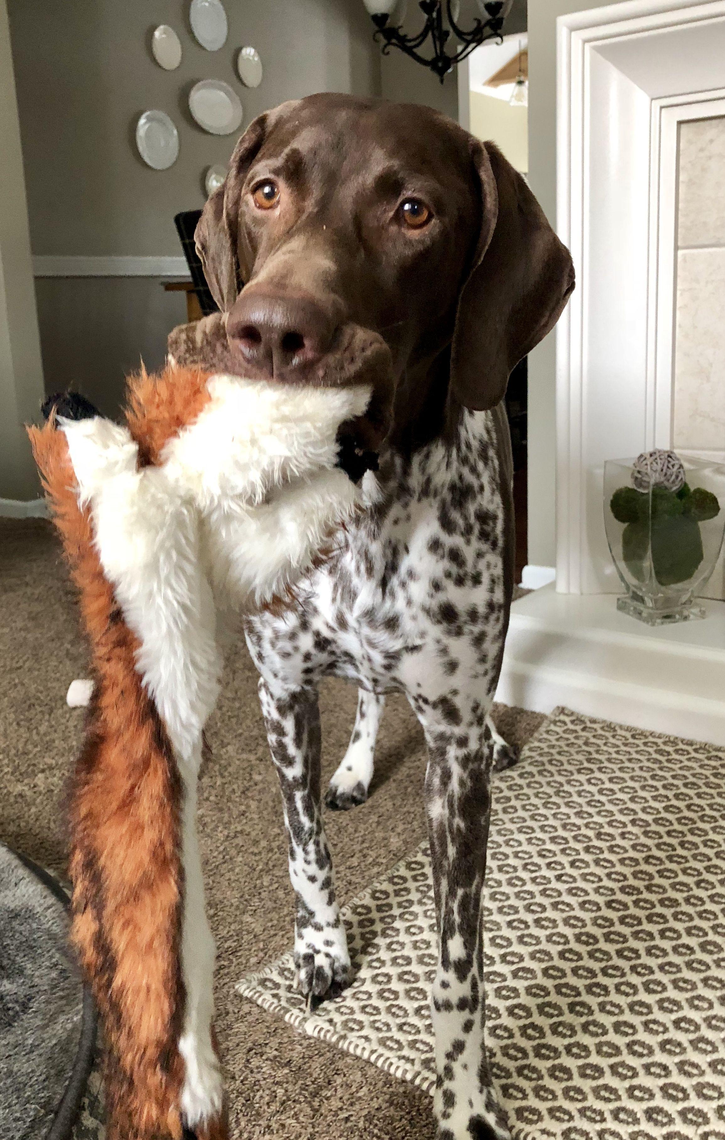 Puppy Pointer Dog Baby