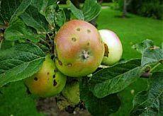 Парша на яблоне: лечение   6 соток