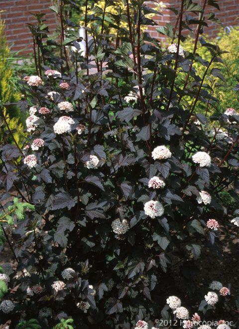 ninebark - diablo landscaping