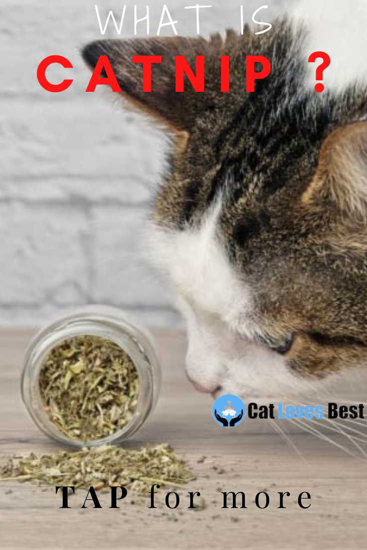 Catnip Is It Healthy Or Not For Your Feline In 2021 Catnip Cat Care Cat Love