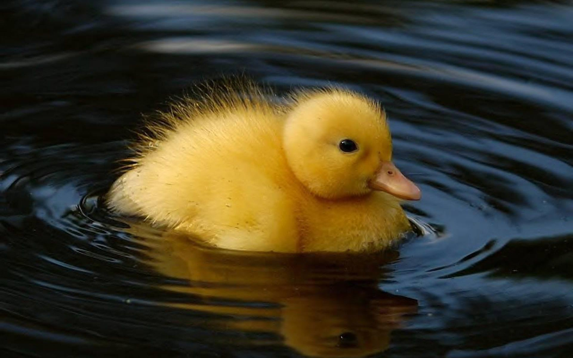 Animals : Swimming Duck HD Wallpapers HD Wallpapers ...