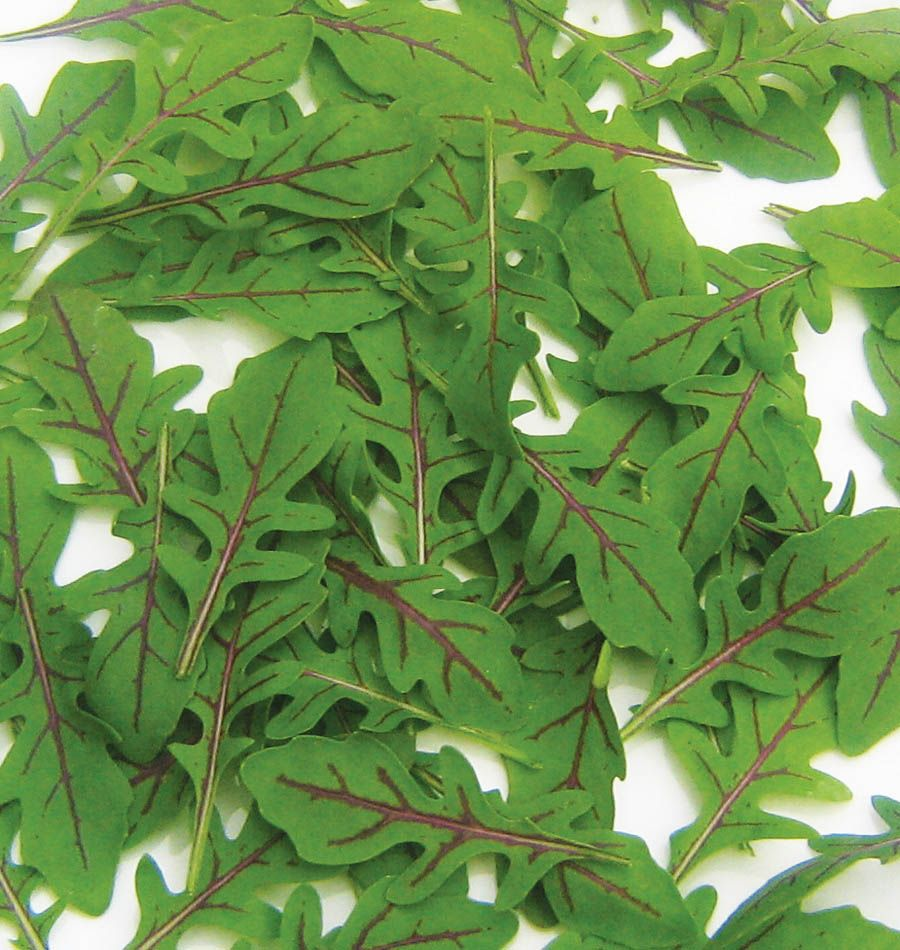 Dragons Tongue Arugula Seeds Are A Wild Sylvetta With Purple Streaked Leaves For Growing In Your Organic V Sutton Seeds Vegetable Seed Organic Vegetable Garden