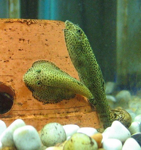 Freshwater Aquarium Fish List
