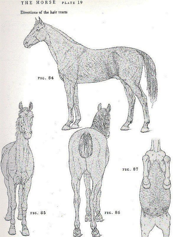 hair growth pattern | Models- Reference | Pinterest | Horse and ...