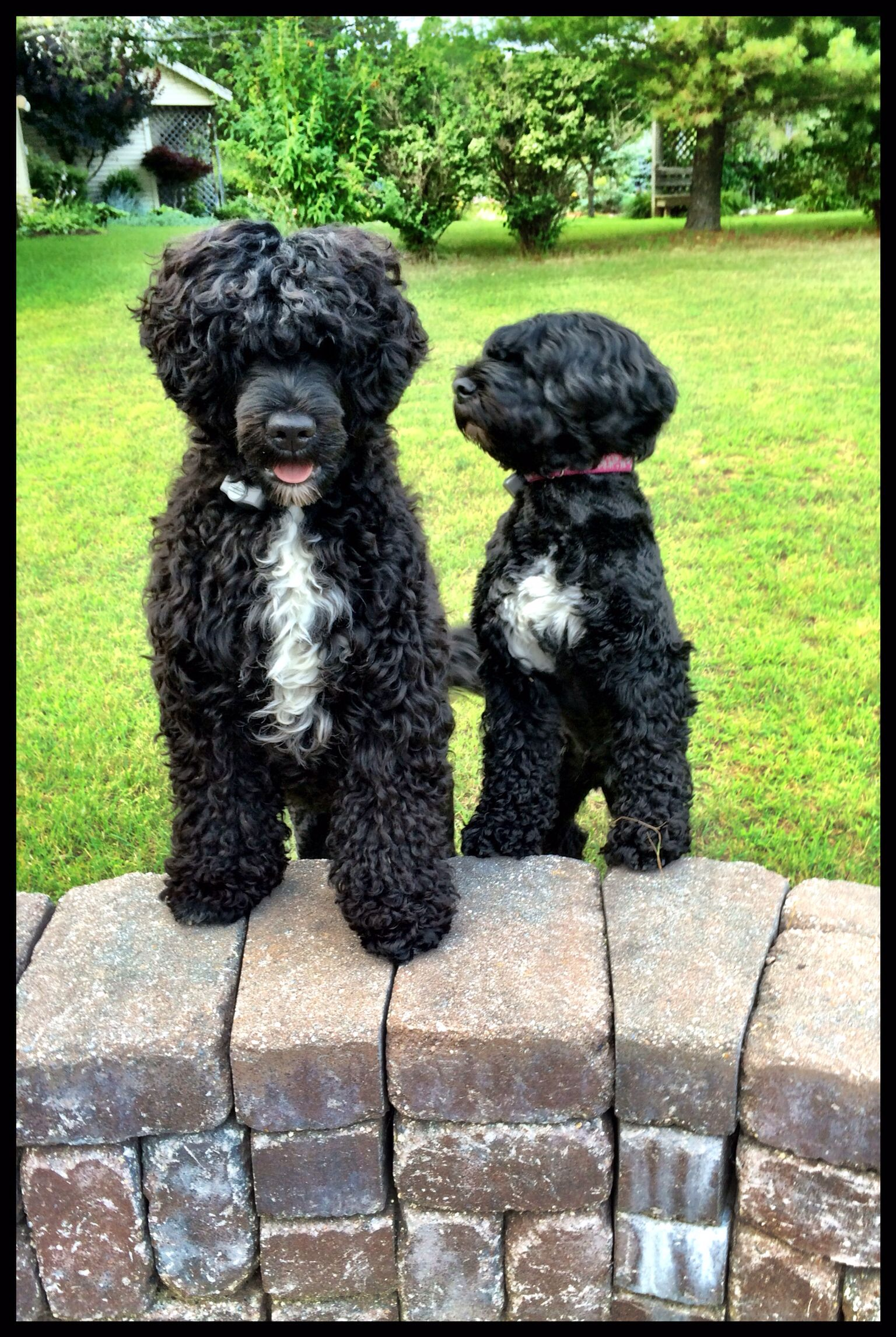 Portuguese Water Dogs Portuguese Water Dog Portuguese Water