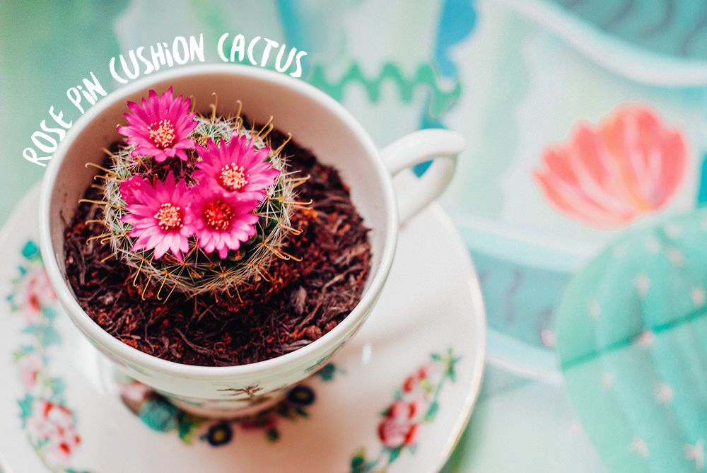 girl in albion | uk fashion blog rose pin cushion cactus