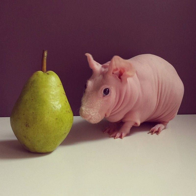 Hairless Guinea pig finds internet fame after his naked