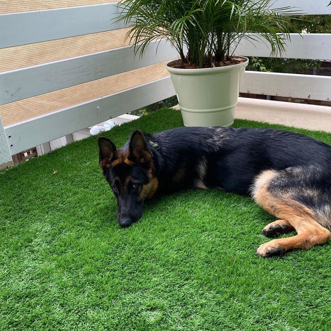 "Remi on Instagram: ""Mom, can we get turf at our house?? PLEASE? • • • • • #love #pet #puppy #petstagram #dogsofinsta #doggo #dogslife #ilovemydog…"""