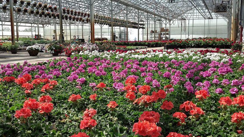 Acorn Farms Whole Nursery Greenhouse Geraniums May 14