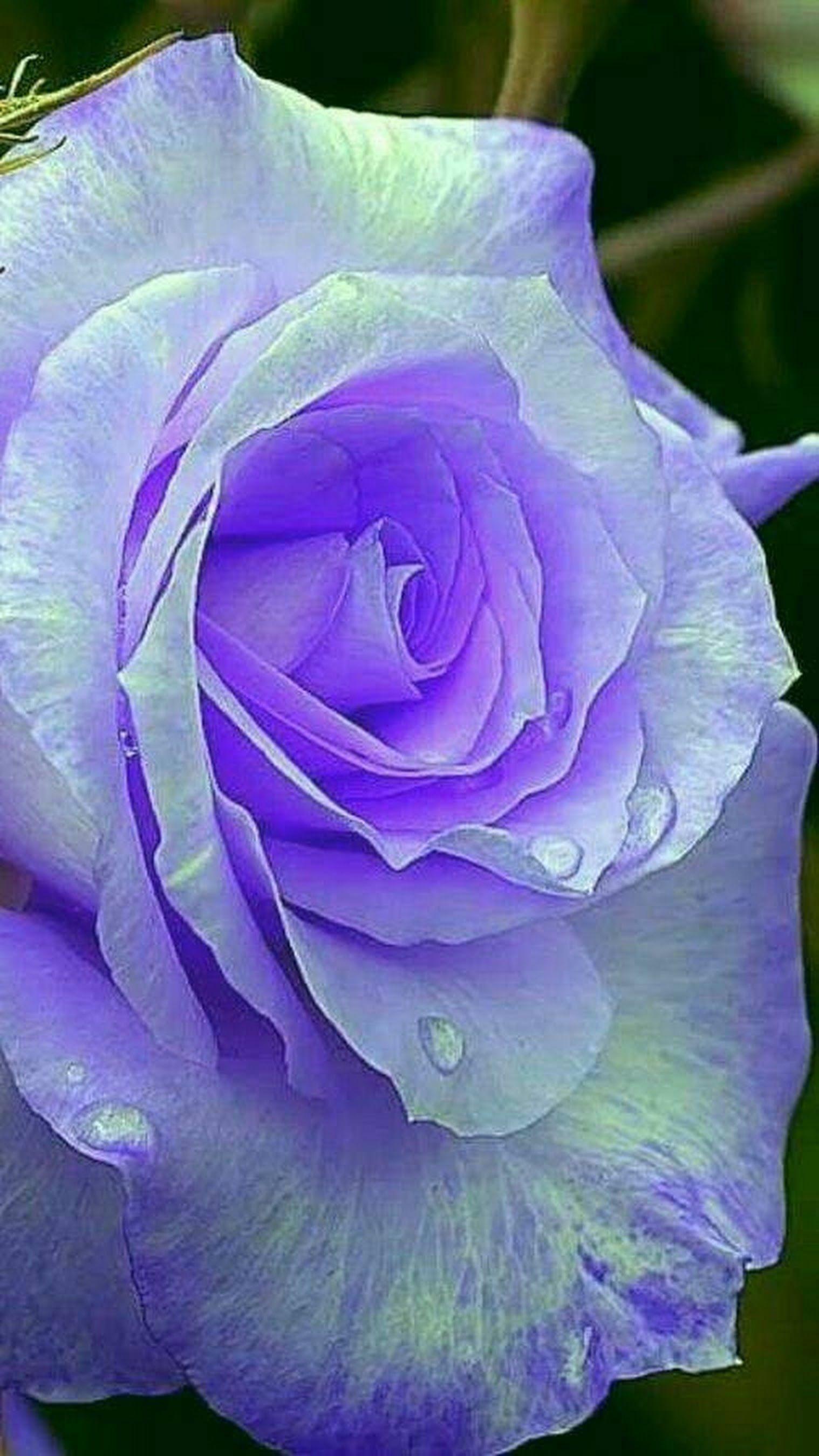 Manohar Reddy Bengaluru India Rare Flowers Purple Flowers Beautiful Roses