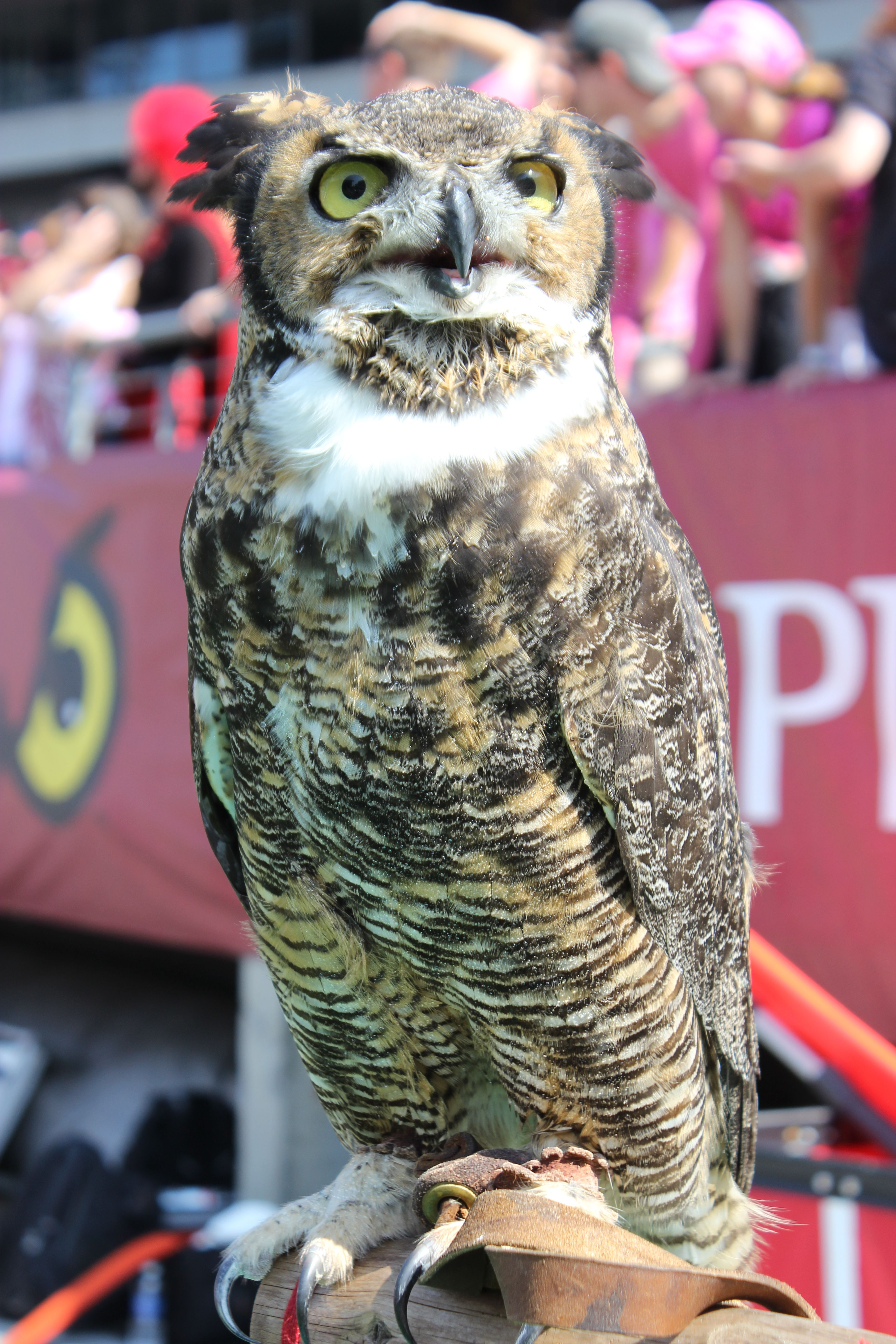 Stella, the Great Horned Owl, is Temple University's mascot! When she's not at the EPZ, you can find her at all of Temple's home football games! Go Owls!
