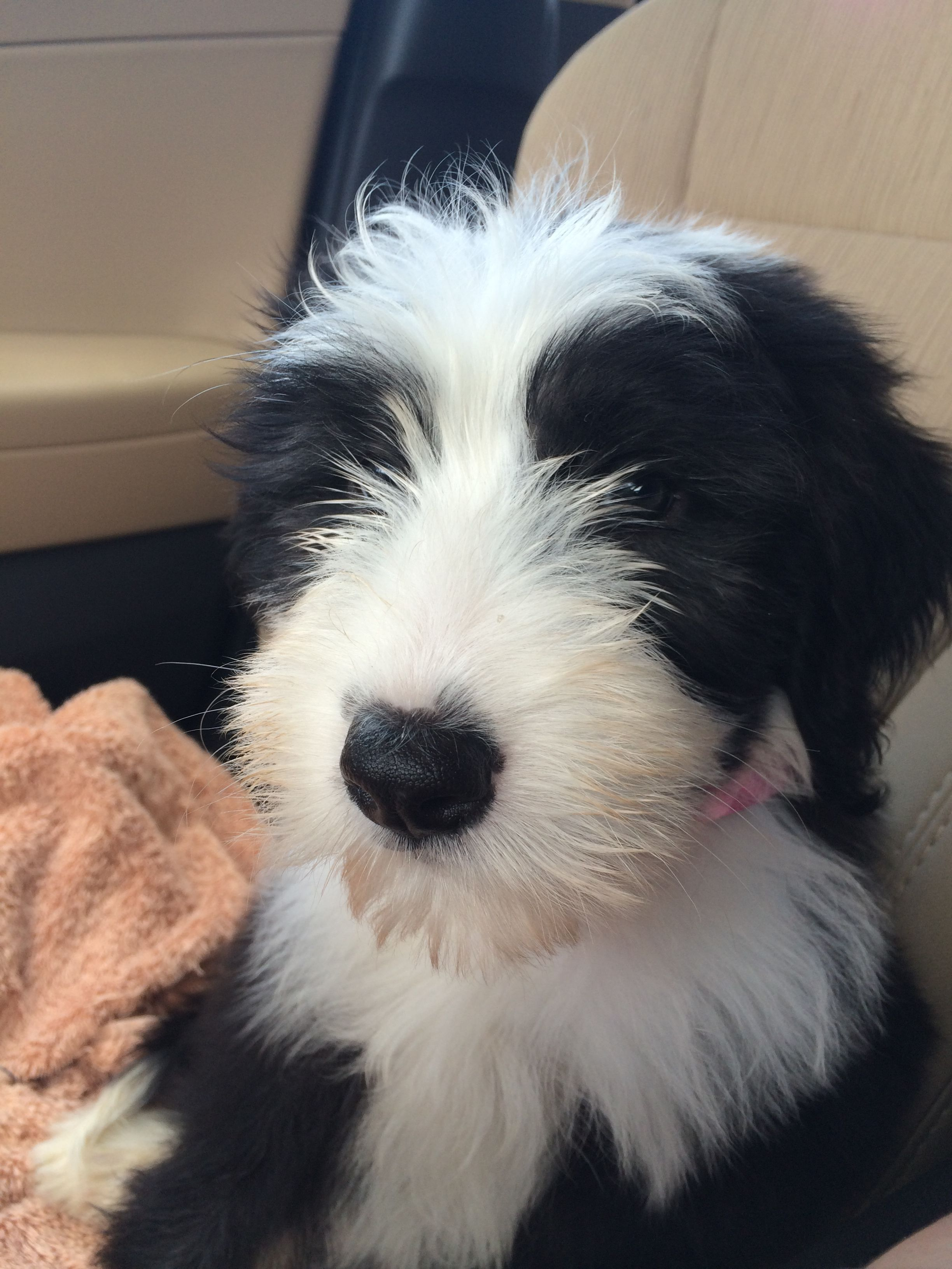 Meet Olive She Is 10 Weeks Old And Is An Old English Sheepdog Puppy She Is One Of The Calmes Old English Sheepdog Puppy Old English Sheepdog English Sheepdog