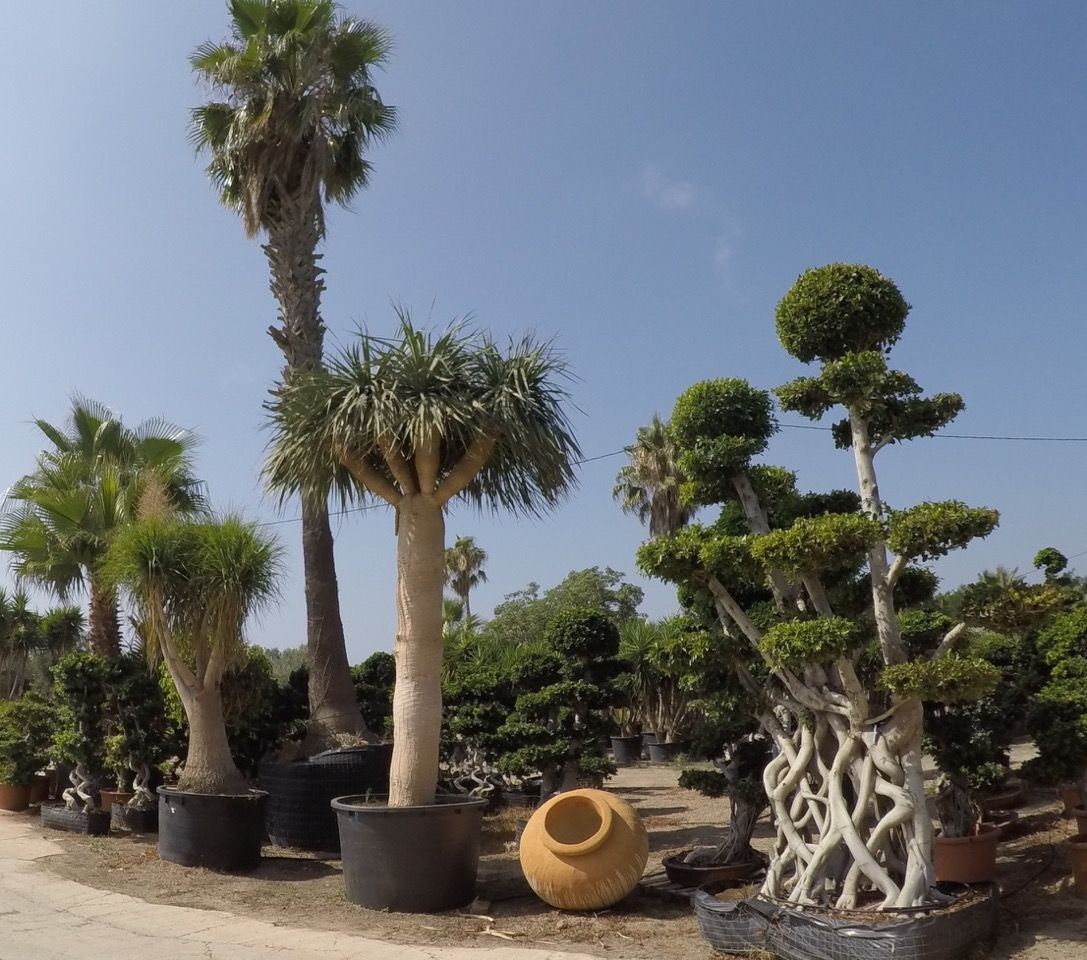 Beaucarnea recurvata (left) Dracaena draco (centre) Ficus