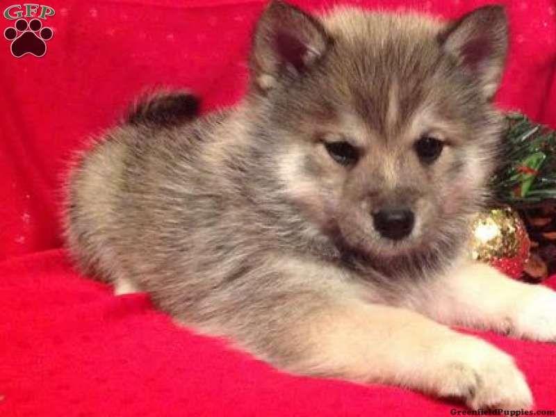Sherlock Pomsky Puppy For Sale Fresno Oh Pomsky Puppies For