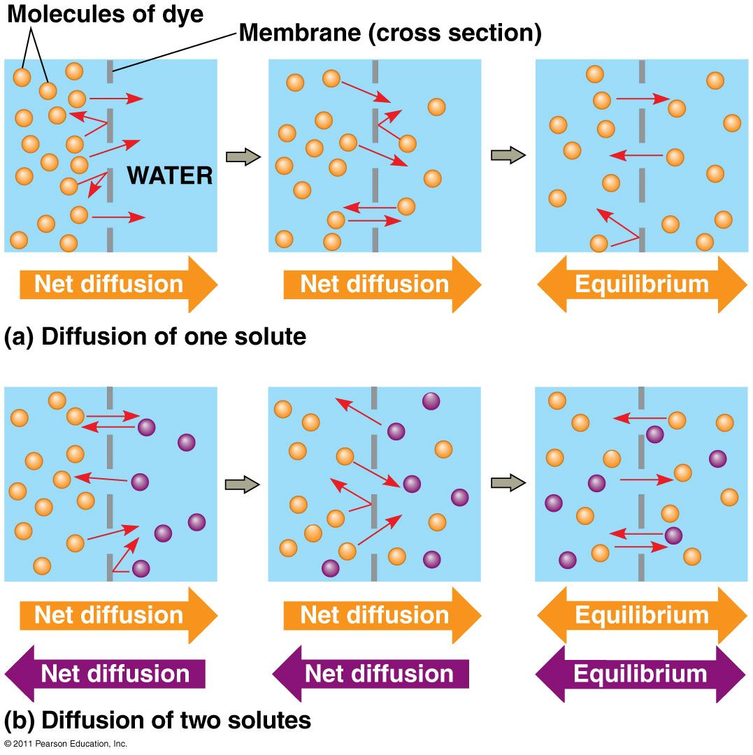 Diffusion | Different examples of diffusion (movement of molecules ...