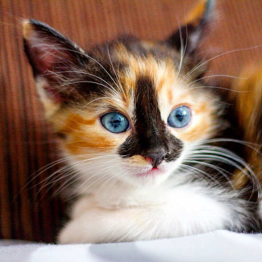 Cute Kitten Kittens Cutest Baby Cats Cat With Blue Eyes