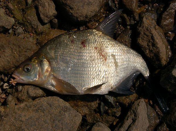 Эх порыбачим: НЕКОТОРЫЕ ОСОБЕННОСТИ ОСЕННЕЙ ЛОВЛИ ЛЕЩА   Рыбалка ...