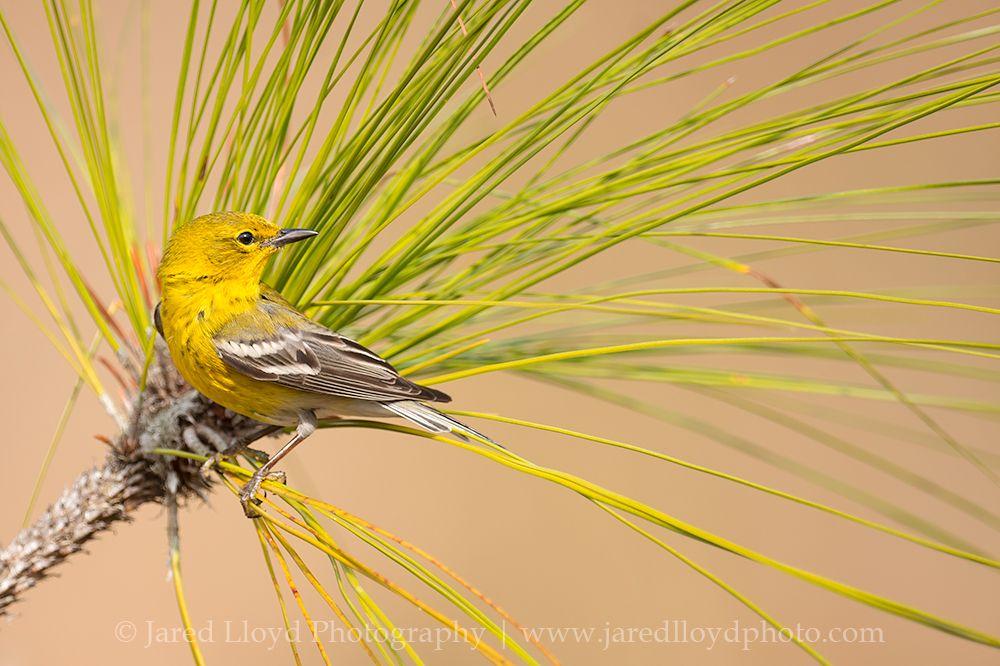 pine-warbler-longleaf.jpg (1000×666)