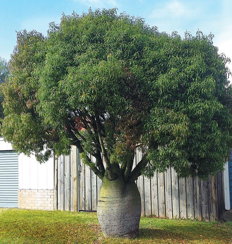 Brachychiton rupestris queensland bottle tree plants for Arboles perennes de crecimiento rapido