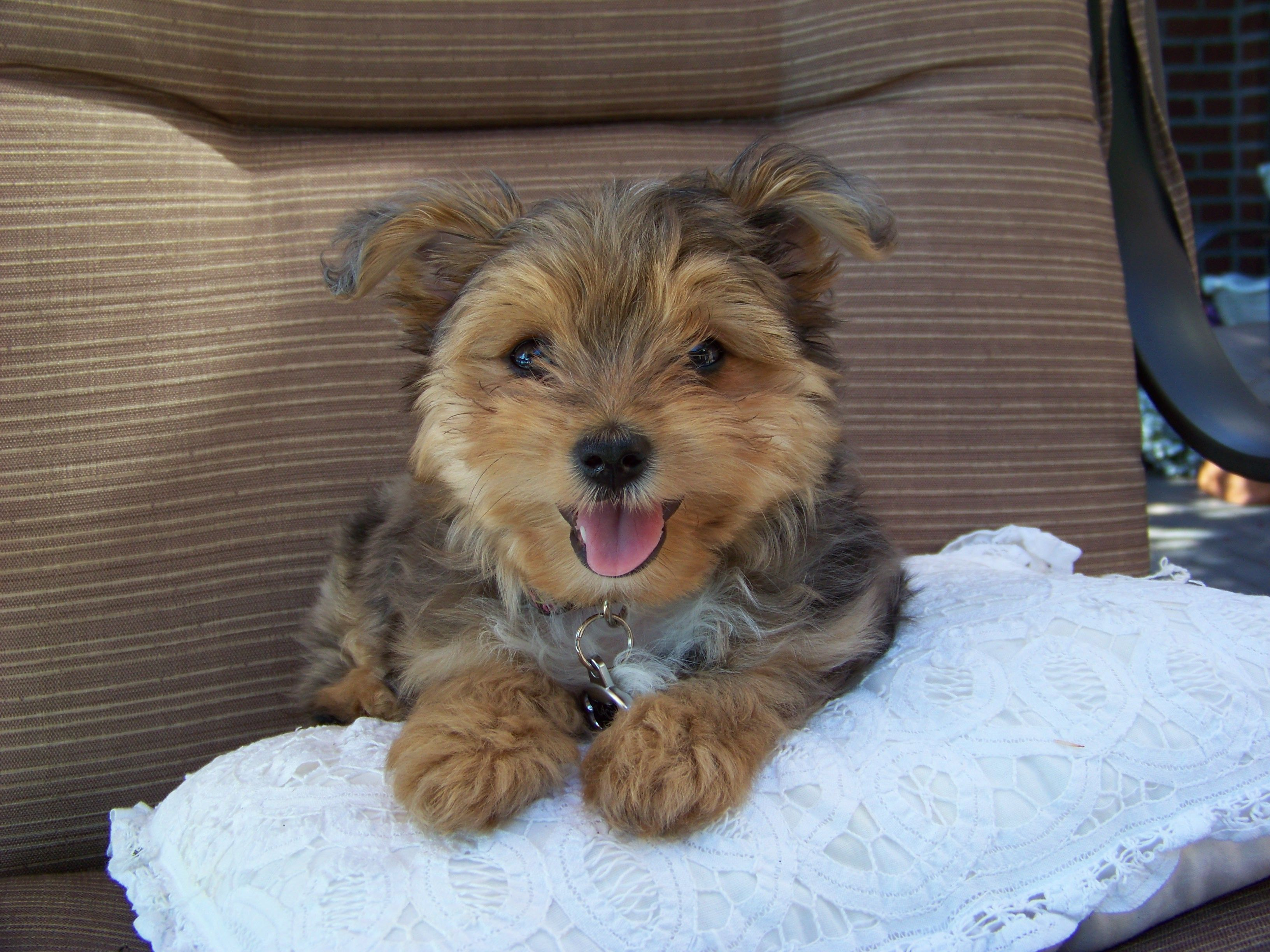 Lacey! Our Yaussie (Yorkie and Mini Aussie) Woof