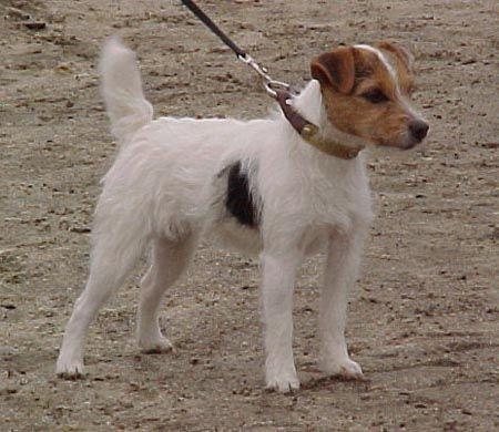 Forget Me Not Memories Jack Russell Jack Russell Dogs Jack Russell Terrier