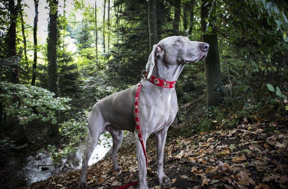 Appenzeller Dog Collar