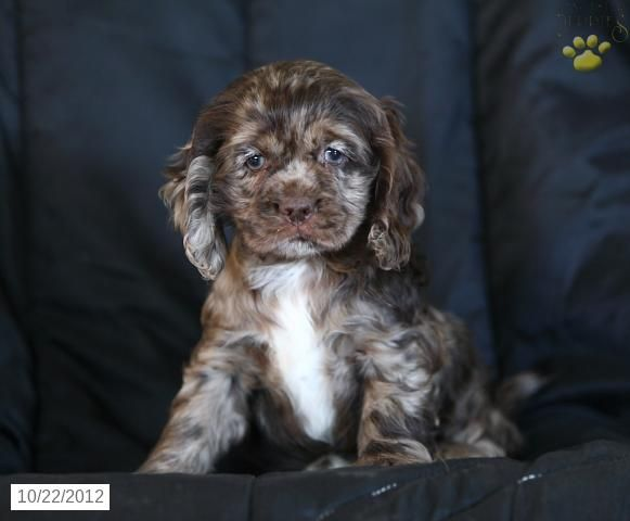 Lacey Cocker Spaniel Puppy For Sale In Gap Pa Cocker Spaniel Puppy For Sale My Dream Dog Spaniel Puppies For Sale Puppies Cocker Spaniel Puppies