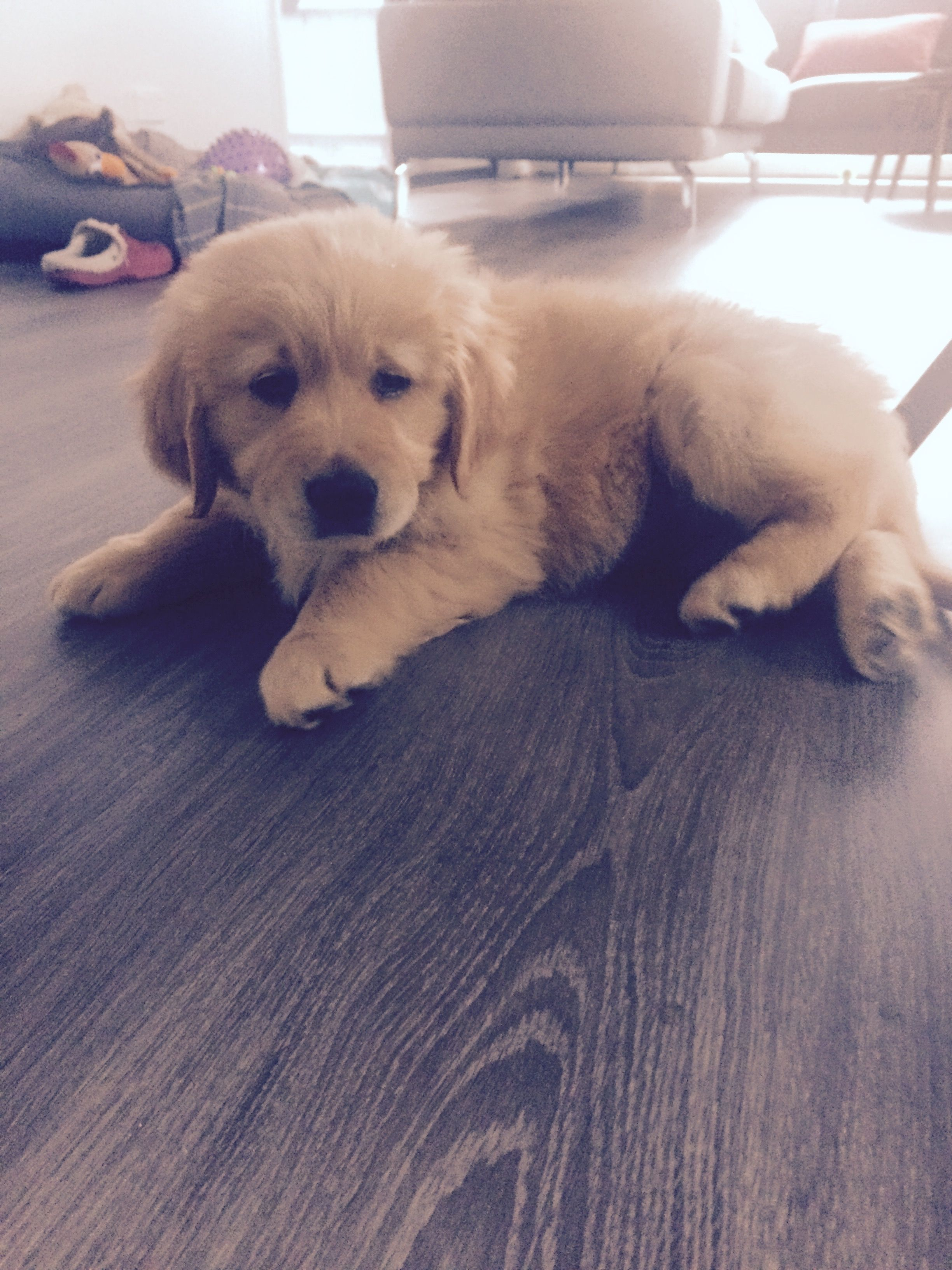 Cute Little Fluff Ball 9 Week Old Goldenretriever Puppy