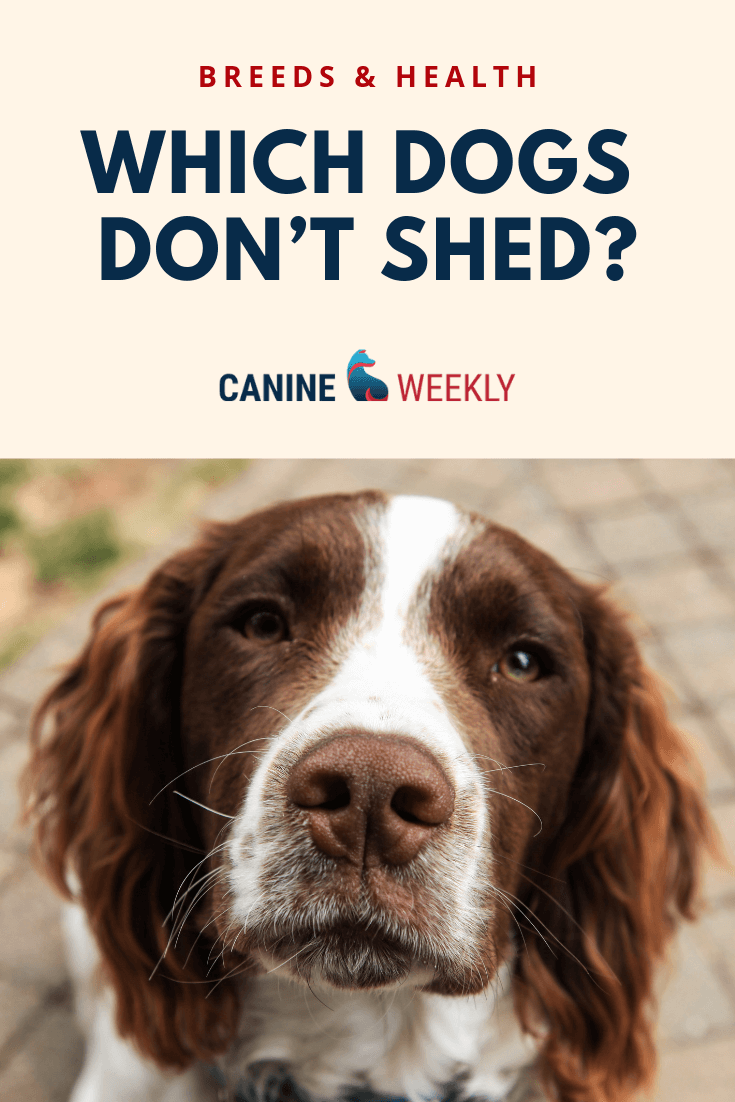 13 Big Dogs That Don T Shed Large Non Shedding Dog Breeds Non Shedding Dogs Dog Breeds Mixed Breed Dogs Medium