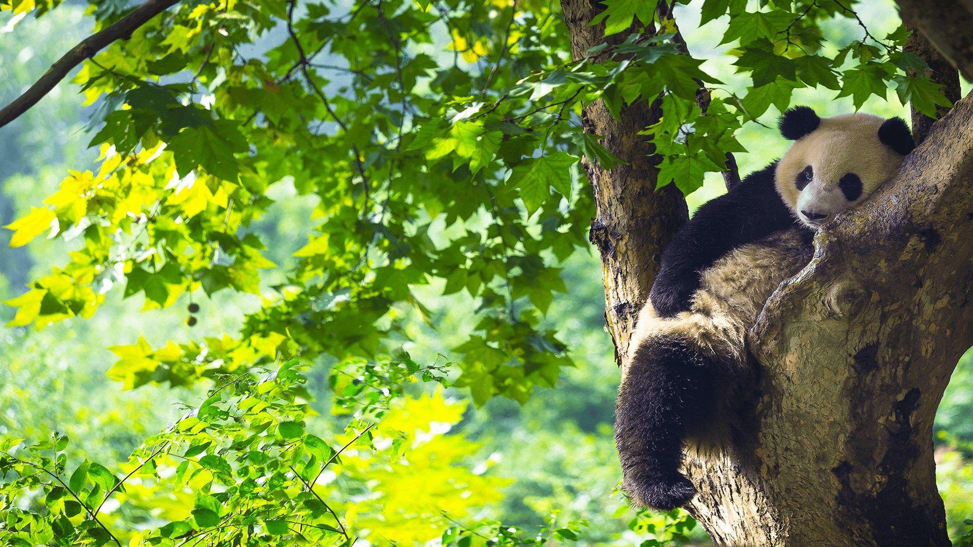 Panda Bears Wallpapers Panda Bear Panda Bears Wallpaper Bear Wallpaper