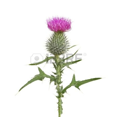 Thistle flower and leaves isolated against white | Thistle flower ...