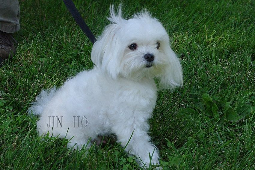 Sonshine Acres Maltese With Images Maltese Puppies For Sale