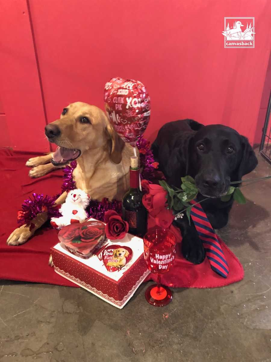 After All This Prep For The Big Day She S Playing Hard To Get And Yawning Happy Valentines Day From Us To You Va In 2020 Dog Lovers Car Protection Dog Hair