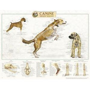Canine Anatomy, Complete Set of 3 Charts. (Skeletal, muscular, internal organs).