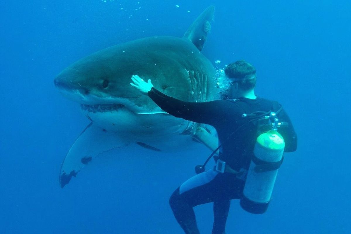 Touching huge great white sharks is fearless feat for ...