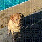 This dog was born to dive into swimming pools