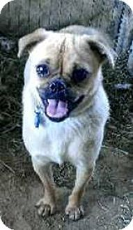 Pin By Mary Taour On Dogs To Adopt Pug Beagle Mix Pug Beagle Pugs