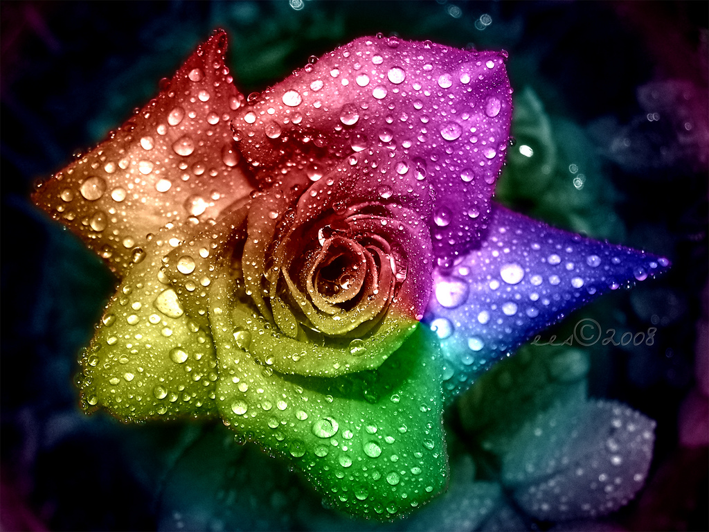 Rainbow Rose Rainbow Roses Rainbow Flowers Colorful Roses