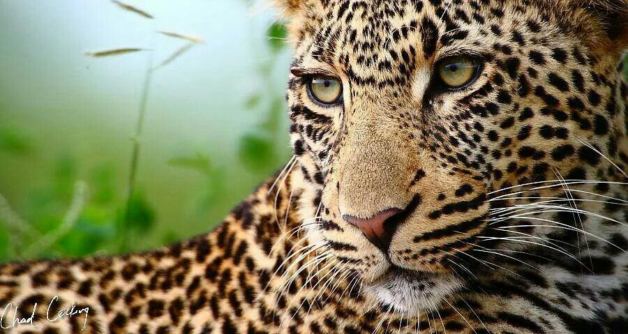 Pin by Michelle Wheeler Smith on Wild Cats Big cats
