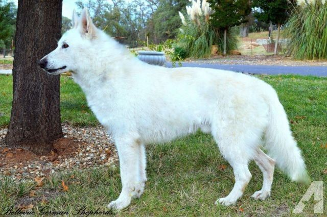 Akc White German Shepherd Stud For Sale Ofa Certified Champion Bred White German Shepherd German Shepherd Breeds