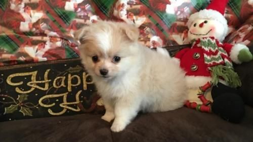 Chihuahua Puppy For Sale In Ohio Chihuahua Puppies For Sale