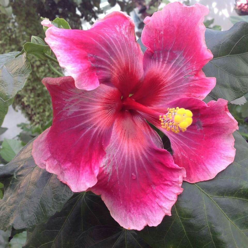 Moorea Imperial Blosom By Claudia C Beautiful Flowers Hibiscus Flowers Hibiscus